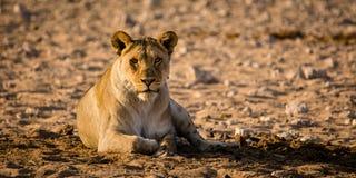 Żeński lew ogląda ciebie Zdjęcia Royalty Free