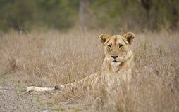Żeński lew w Kruger parku narodowym, Południowa Afryka Obrazy Stock