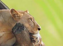 Żeński lwa odpoczywać Obrazy Royalty Free