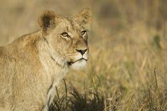 Żeński lwica portret zdjęcie royalty free