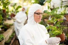Żeński naukowiec egzamininuje puszkującej rośliny w czystym kostiumu Zdjęcia Stock