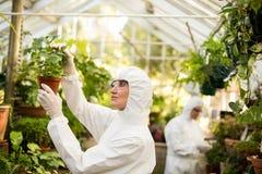 Żeński naukowiec egzamininuje puszkującej rośliny w czystym kostiumu Fotografia Royalty Free