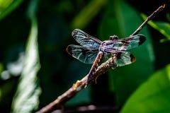 Żeński Pospolity ogonu Dragonfly Obraz Stock