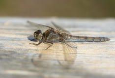 Żeński Pospolity Wężowy Dragonfly Zdjęcie Stock