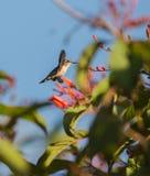 Żeński pszczoły Hummingbird w locie Zdjęcia Stock