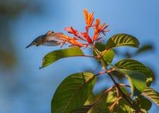 Żeński pszczoły Hummingbird w locie Fotografia Royalty Free