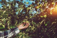 Żeński ręki mienia dojrzały jabłko na gałąź zdjęcie stock