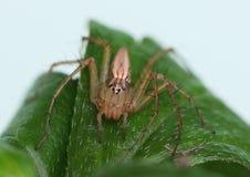 Żeński rysia pająk na liściu Obrazy Stock