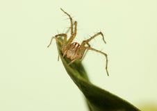 Żeński rysia pająk na obrończej postawie na liściu Zdjęcie Royalty Free