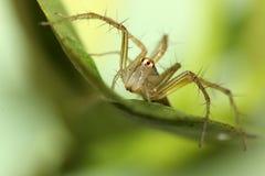 Żeński rysia pająk na wapno liściu Obraz Stock