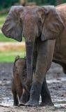 Żeński słoń z dzieckiem Fotografia Royalty Free