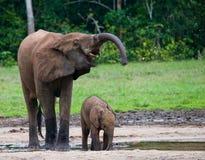 Żeński słoń z dzieckiem Zdjęcia Stock