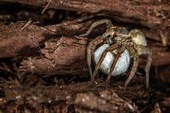 Żeński Wilczy pająk Obrazy Stock