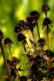 Żeński Złoty Finch Wśród osetu Obraz Royalty Free