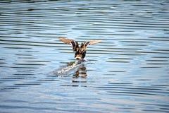 Żeńskie kaczek ziemie po środku jeziora Fotografia Royalty Free