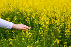 Żeńskie ręki dotyka gwałtów kwiaty Obraz Royalty Free
