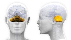 Żeńskiego Cerebellum Móżdżkowa anatomia - odizolowywająca na bielu ilustracja wektor