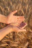 Żeńskiego ręka chwyta Jęczmienna roślina fotografia royalty free