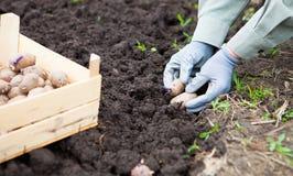Żeńskiego ręki flancowania kartoflane bulwy w ziemię Obraz Stock