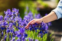 Żeńskiej ręki wzruszający irysowy kwiat, Błękitny irysowy kwiat w ogródzie zdjęcia royalty free