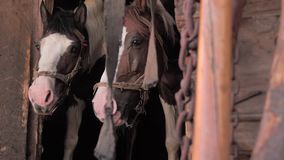 E Άλογα στο σταύλο Όμορφα άλογα που περιμένουν τη χλόη, βρώμη δύο άλογα που παίρνουν το υπόλοιπο στον παλαιό ξύλινο σταύλο απόθεμα βίντεο