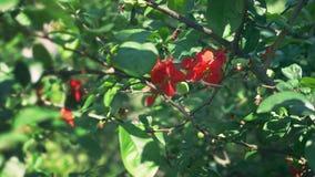E Ένας κλάδος του ανθίζοντας ιαπωνικού κυδωνιού με τα πράσινα φρούτα Θάμνος φρούτων με τα όμορφα κόκκινα λουλούδια και πράσινος φιλμ μικρού μήκους