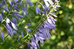E Οικοδεσπότες λουλουδιών στοκ εικόνα με δικαίωμα ελεύθερης χρήσης