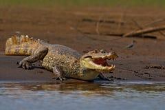 E Πορτρέτο Caiman, κροκόδειλος στο νερό με τον ήλιο βραδιού Κροκόδειλος από τη Κόστα Ρίκα r Στοκ φωτογραφία με δικαίωμα ελεύθερης χρήσης