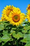 E аграрные урожаи Стоковые Фотографии RF