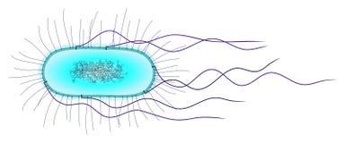 e клетка coli иллюстрация штока