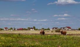 E На коровах луга на зеленом цвете к траве, на домах дальнего плана пасите стоковое фото