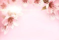 E Розовая вишня как предпосылка Вишневые цвета весны стоковая фотография rf