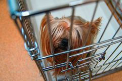 E Умный взгляд конца-вверх верхней части собаки Yorkies любимчика Стоковые Фото