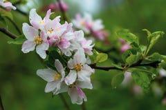 E Цветки пинка и белых фруктового дерева на зеленой естественной предпосылке Сезон цветка, флористическая предпосылка, стоковые изображения