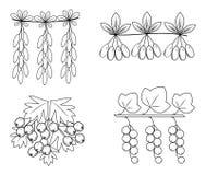 E Это ветвь барбариса, боярышника, кизила, смородин Полезные вкусные ягоды для здоровья и медицины r иллюстрация штока