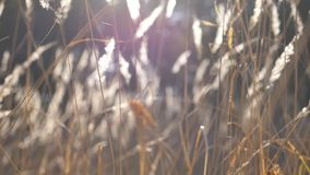 E 关闭草甸植物在太阳光 明亮的太阳照亮密集烘干 股票录像