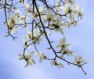 E 在分支的华丽和美丽的木兰stellata花反对浅兰的背景 日本木兰 库存图片