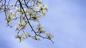 E 在分支的华丽和美丽的木兰stellata花反对浅兰的背景 日本木兰 库存照片