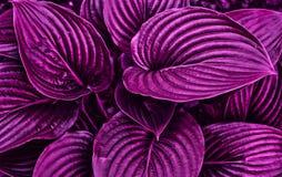 E 在紫色颜色设色的叶子 r 免版税库存图片