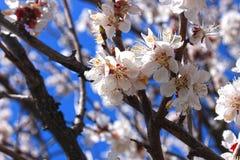 E 开花的杏子分支在浅兰的天空背景的 免版税库存照片