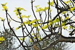E 有叶子的无花果植物 免版税库存图片