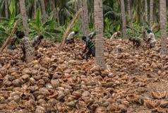E 椰子剥皮的过程由许多农场劳动完成 库存图片