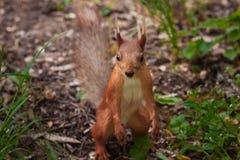 E 橙色慌张灰鼠在它的后腿站立并且涂了它的拥抱的前面爪子 中型松鼠,红松鼠,杉木 图库摄影
