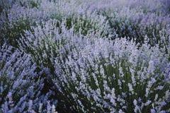 E 淡紫色领域在夏天 r 免版税库存照片