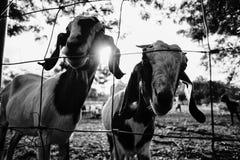 E 特写镜头白色山羊在农场小牧场  山羊画象 阳光黑白大反差图片样式 库存照片