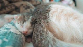 E 生活方式逗人喜爱宠物小猫睡觉 股票视频