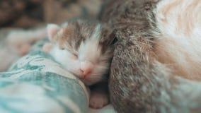E 睡觉在a的逗人喜爱的宠物小猫 影视素材