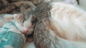 E 逗人喜爱的宠物小猫睡觉生活方式 股票视频