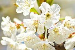 Цветки вишневого дерева стоковые фотографии rf