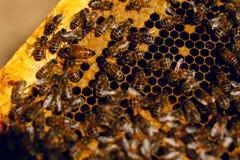 Близкий поднимающий вверх взгляд работая пчел на клетках меда стоковое изображение rf